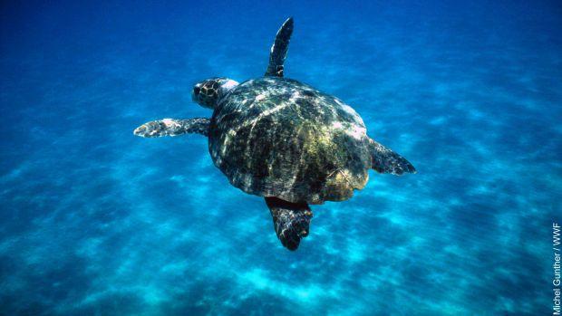 Caretta Caretta'lardan güzel haber: Deniz Kaplumbağalarının sayısı artıyor