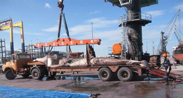 Nesli tükenen en büyük ikinci deniz memelisi olan 12 metrelik yavru balina İskenderun'da karaya vurdu