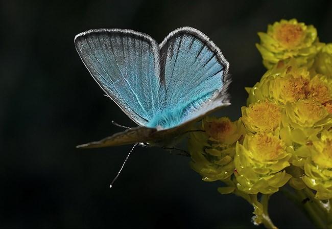 Toroslar'da yeni bir kelebek türü bulundu