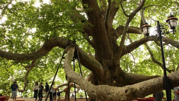 Türkiye'nin en iyi 10 anıt ağacı
