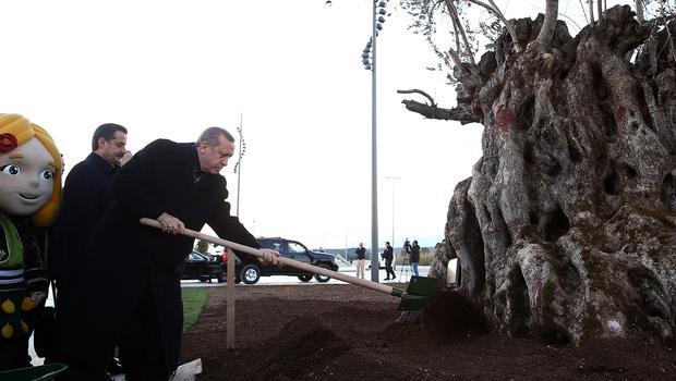 """""""945 yaşında ağacı taşımak onu kesmekle eş anlamlıdır"""""""
