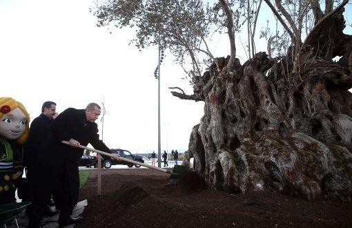 945 yıllık zeytin ağacını taşıma riskine değer mi?