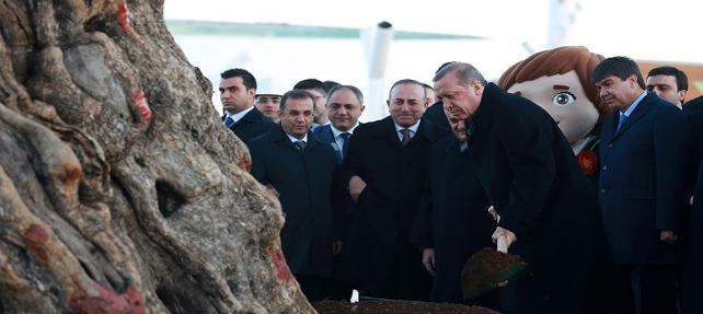 1000 yıllık ağacı söküp İzmir'den Antalya'ya getirtti, İnşallah burada tutar dedi.
