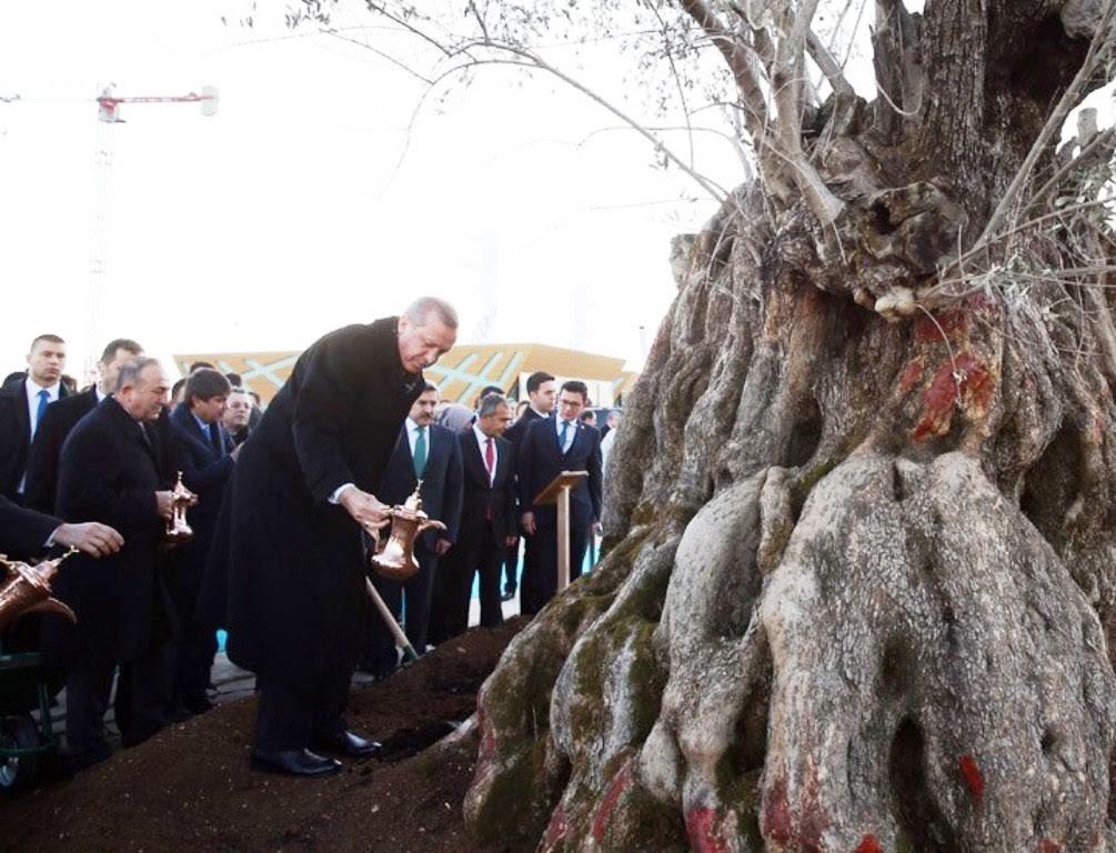 İzmir'den sökülen 1000 yıllık zeytin ağacının düşündürdükleri