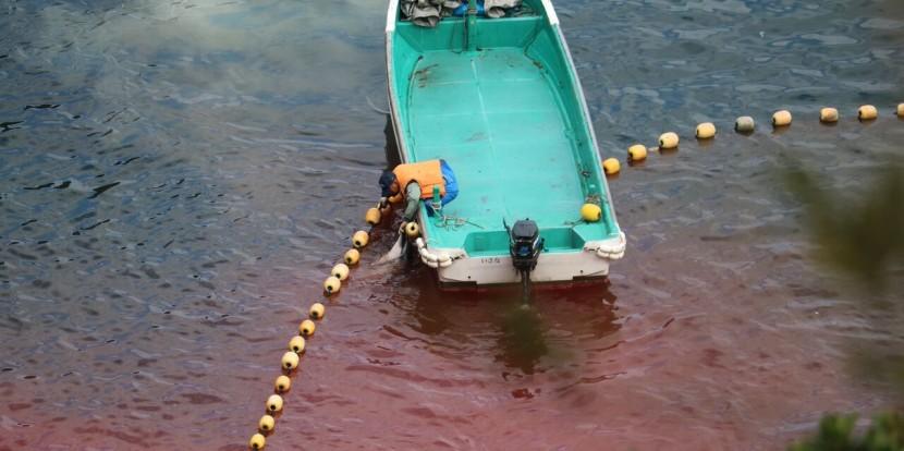 Taiji'de katliam devam ediyor: dün 60 yunus öldürüldü, 2016'da öldürülen yunus ve balina sayısı 452