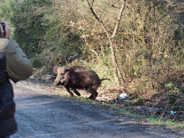 """Burası Maslak! Fatih Ormanı'nındaki son yaban domuzlarını da """"av çeteleri"""" katlediyor"""