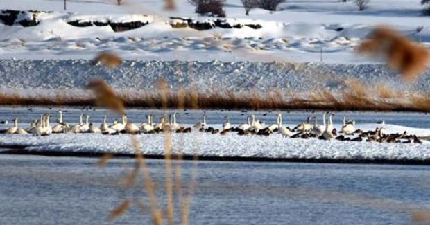 Kuğular, Rusya'dan Van Gölü'ne geldi