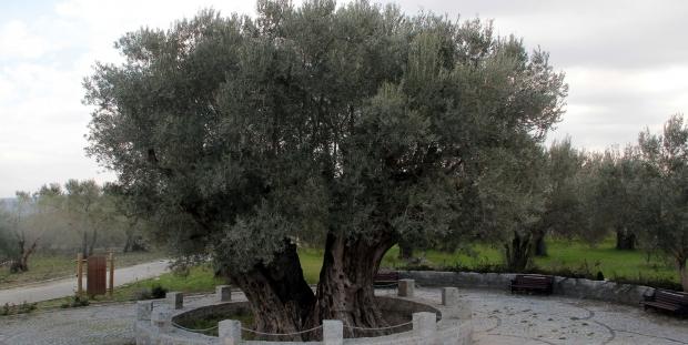 Manisa'daki zeytin ağacı İsa ile mi yaşıt?
