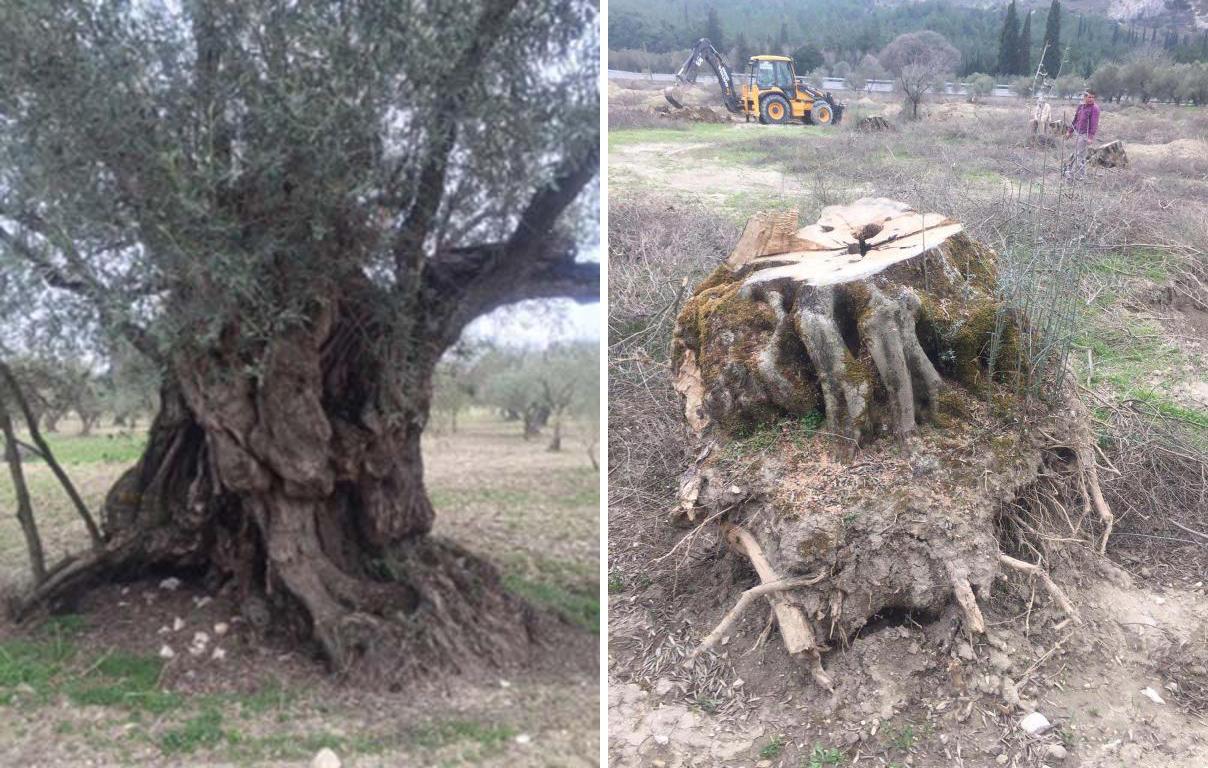 'İstanbul – İzmir Otoyolu için 700 bin zeytin ağacı kesildi'