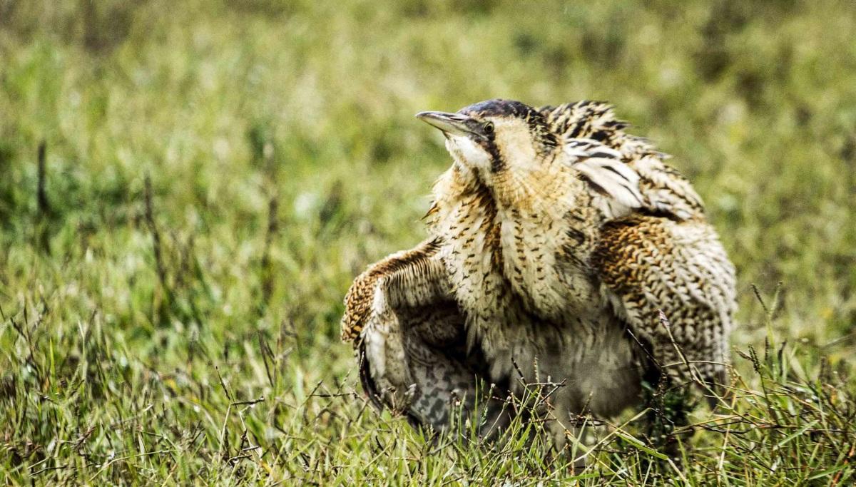 Nesli tükenmekte olan Balaban kuşu Tunceli'de görüntülendi