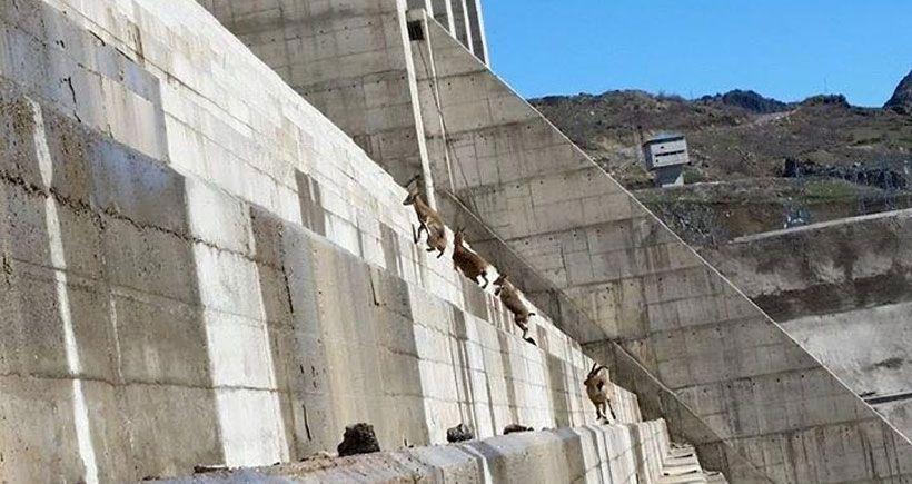 Dersim'de kaçak baraj, yaşam alanlarını yok etti: Dağ keçileri, dağa değil baraja tırmanıyor