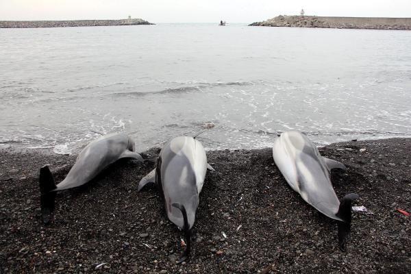 Zonguldak'ta 3 yunus ölerek sahile vurdu