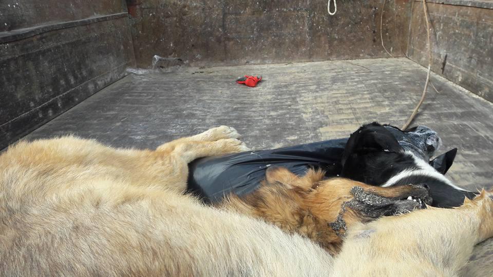 Akyaka'da 32 hayvan zehirlenerek katledildi