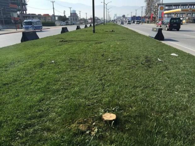 Bursa Yalova yolunda ağaç katliamı yapıldı!