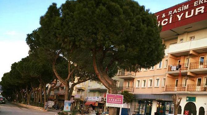 MHP'li belediyeden yarım asırlık çam katliamı