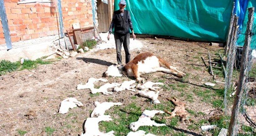 Eti Gümüş'ün kanser ettiği köyde 150 oğlak zehirlenerek öldü