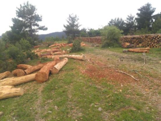 Kolin doğa kıyımına devam ediyor. Soma'da direniş başladı, köylüler ağaç nöbetinde!