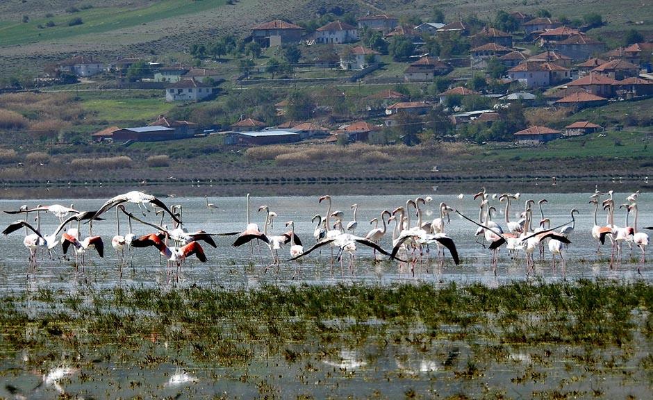Mermer ocakları yüzünden Yarışlı Gölü'ne gelmeyen flamingolar, Akgöl'e sığındı