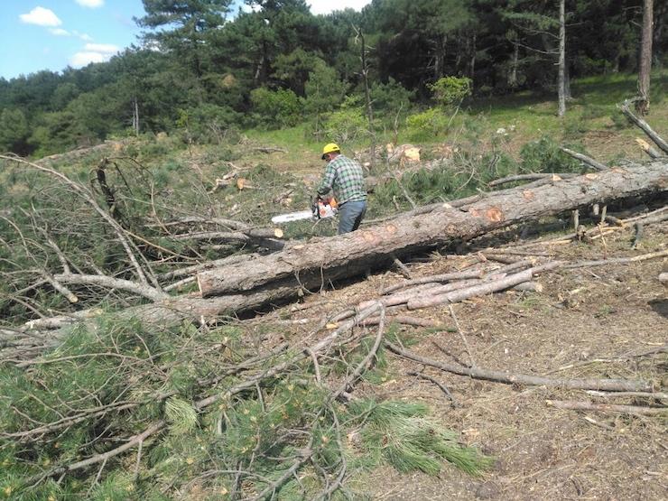 Kolin yine ağaç kıyımına girişti: Köylüler yarın direnişe geçiyor