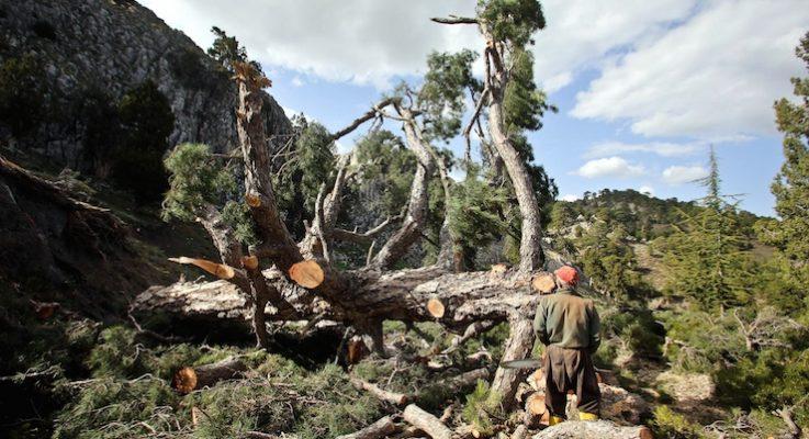 Antalya'da ağaç kıyımı: Kayak merkezine yol yapmak için çam ağaçları kesildi