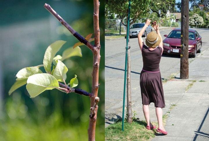 Tarımsal isyan: Şehirdeki ağaçlara meyve veren dallar aşılıyorlar ve çok güzel bir amaçları var