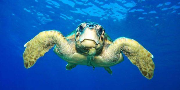 Deniz kaplumbağaları tehdit altında