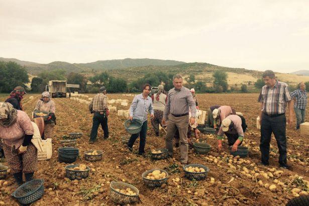 AKP'nin tarım politikası: Ödemiş patatesi tarlada kaldı, üretici perişan!