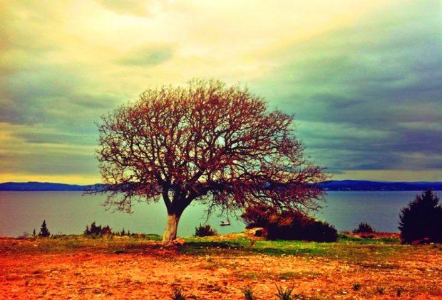 Ben bir sakız ağacıyım Çeşme klon parkında