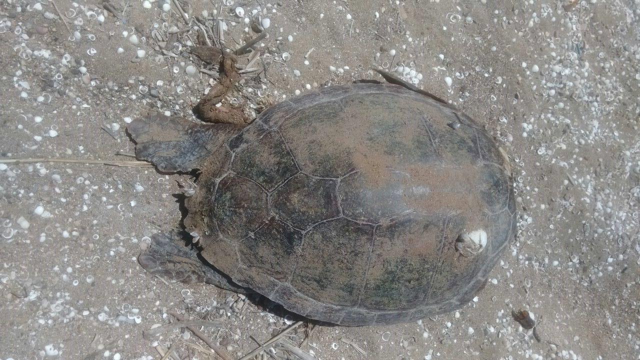 Antalya'da binlerce balığın öldüğü bölgede bu kez de caretta ölümleri!