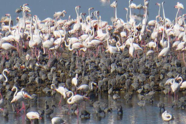 İzmir'de flamingo rekoru: Bu yıl kentte 17 bin civarında yavru kanatlanacak