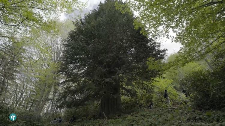 Zonguldak'ta 4112 Yaşında Porsuk Ağacı Bulundu