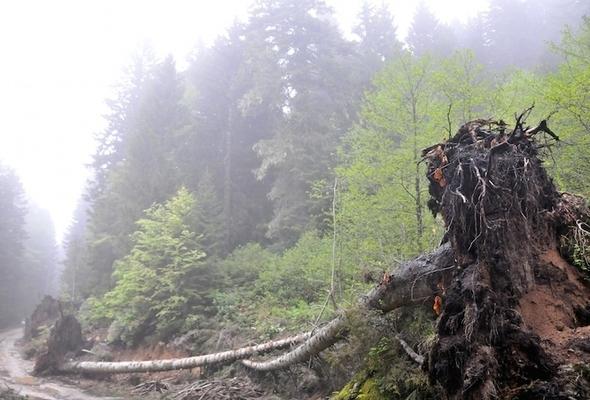 Yeşil Yol'da mahkemenin durdurma kararına rağmen çok sayıda çam ağacı kesildi