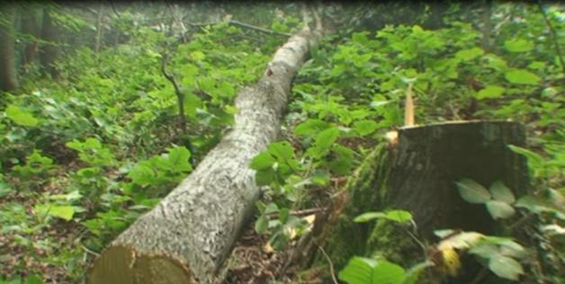 Sakarya Geyve'de Kuzey Ormanları'nın ıhlamur ağaçlarını tek tek katlediyorlar!