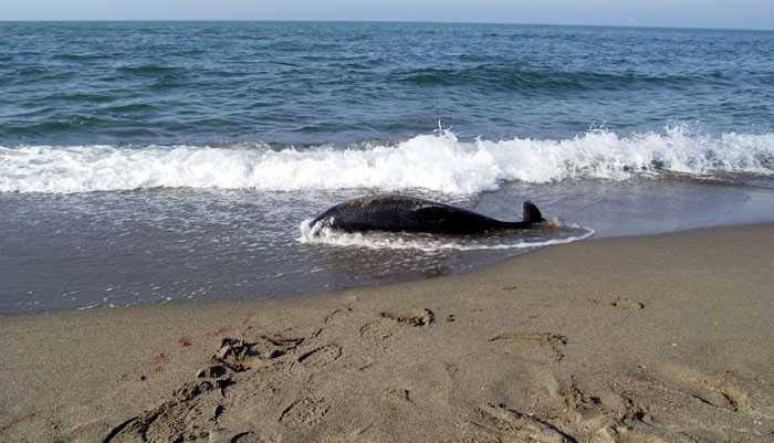 Kuzey Ormanları sahillerine vuran onlarca yunusun ölüm sebebi deniz ekosisteminin tahribatıdır