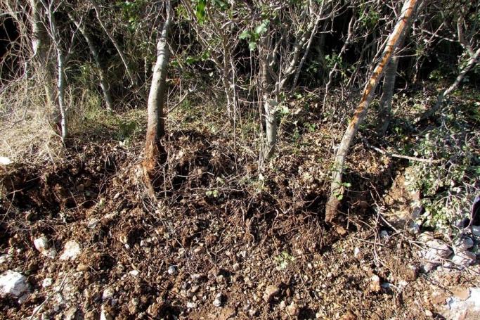 Çeşme'de mahkeme kararına rağmen ağaçlar söküldü!