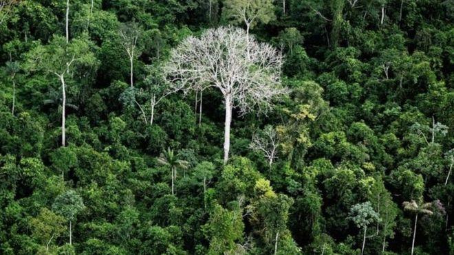 Amazon ormanlarındaki ağaçları kataloglamak için üç asır gerek