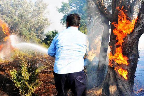 Bodrum'da asırlık zeytin ağaçları kül oldu