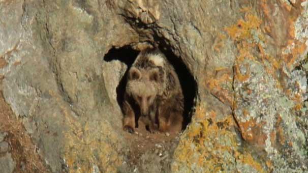 Dünyanın göç eden tek boz ayılarının Sarıkamış'ta yaşadığı keşfedildi
