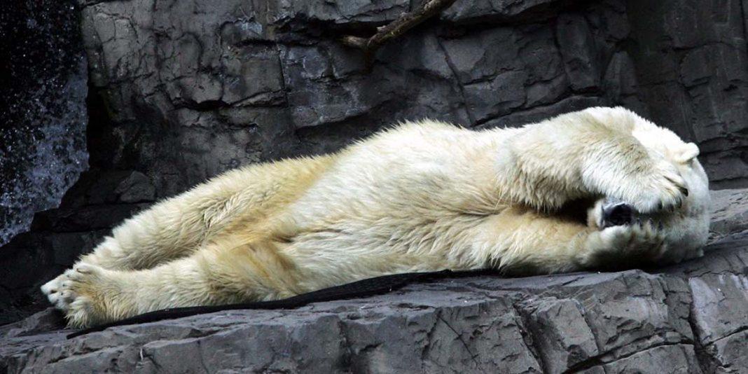 Kutup ayısı Arturo 30 mutsuz yılın ardından hayvan hapishanesinde delirerek öldü