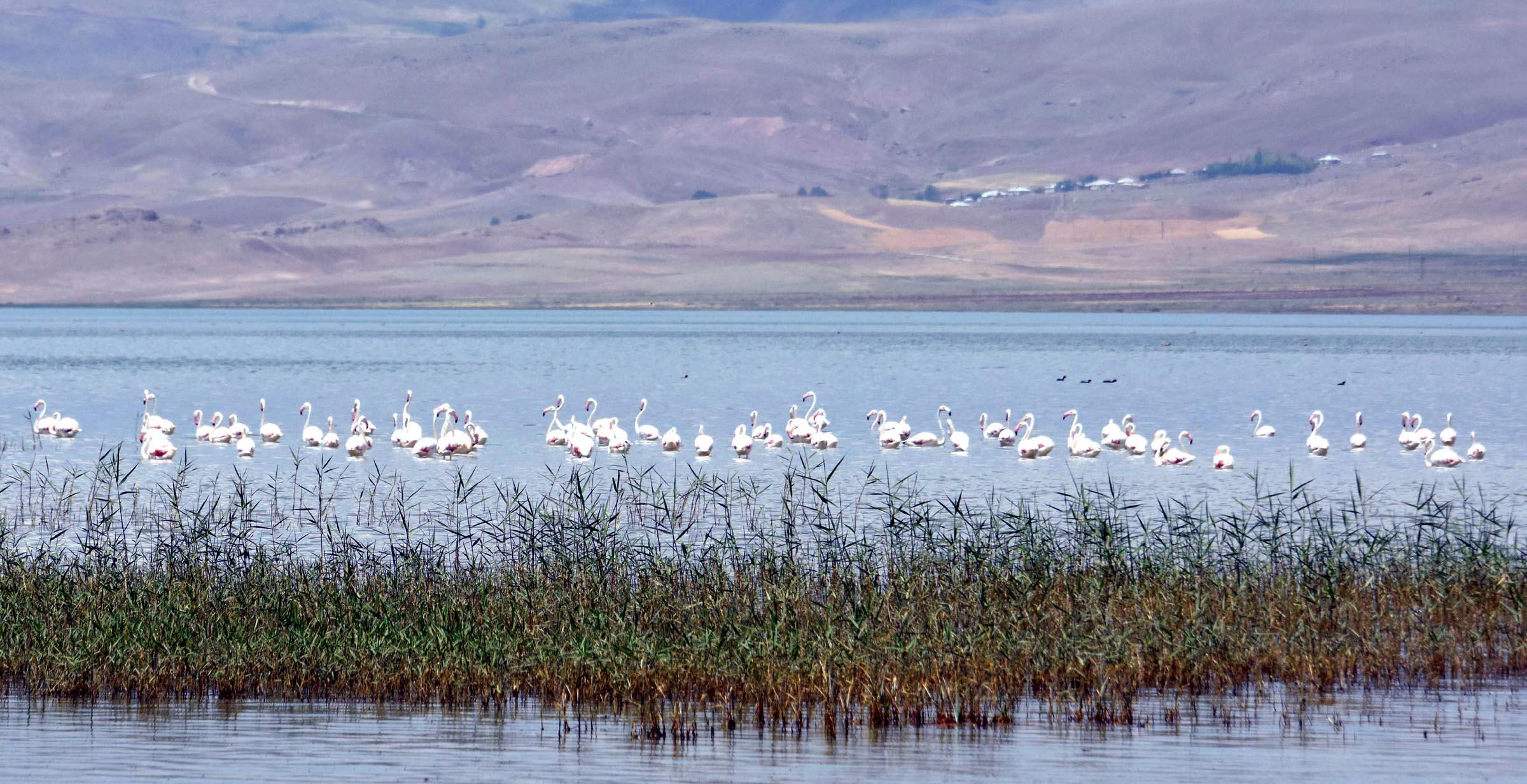 Flamingolar, Van Gölü'ne nihayet geldi
