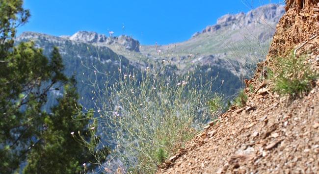Antalya'da yeni bir karanfil türü bulundu