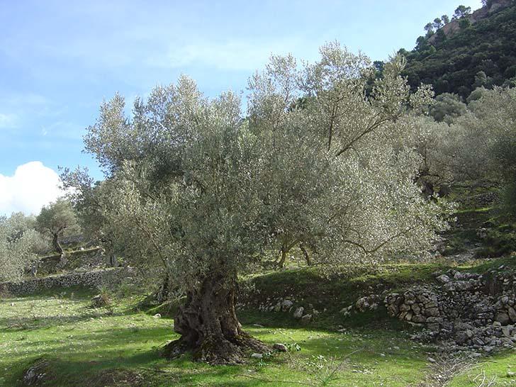 Kanser olmayan ender ağaçlardan biri; zeytin ağacı
