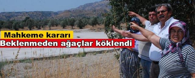 Aydın'da enerji şirketi mahkeme kararını beklemeden asırlık zeytin ağaçlarını kökledi