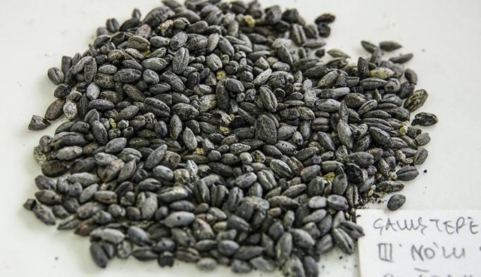 Van'da bulunan 2800 yıllık buğday yeniden yetiştirilecek