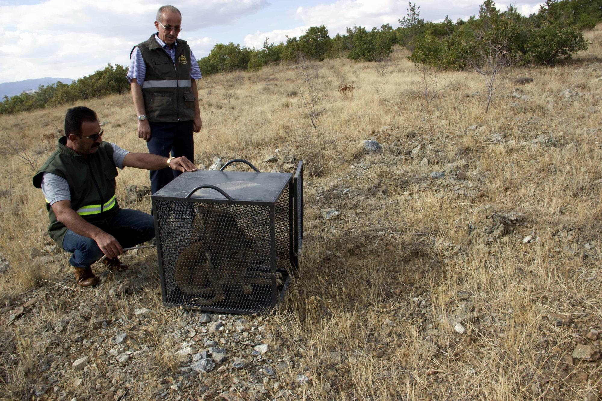 Tedavi edilen yavru kurtlar, doğaya bırakıldı