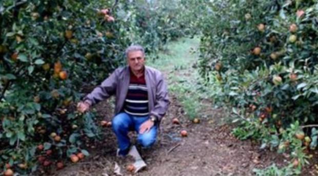 250 bin elma ağacı sökülüp odun yapılacak!