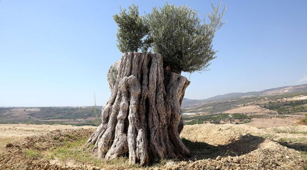 Kesilmek üzere iken yeniden dikilen 800 yıllık zeytin ağacı meyve verdi