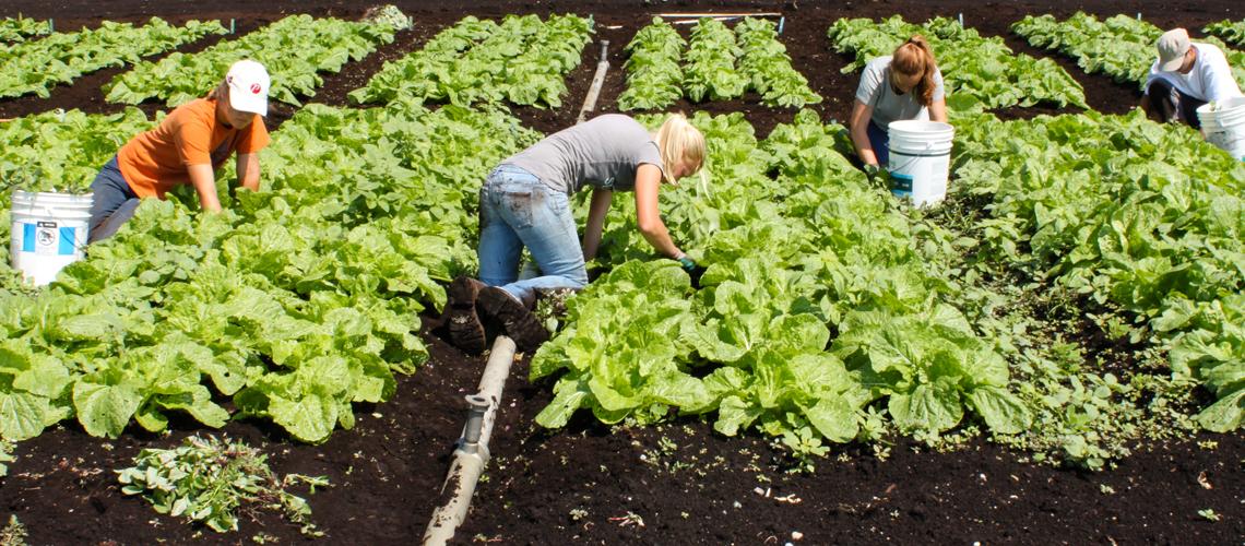 Biyolojik tarım dünyayı besleyebilir mi?