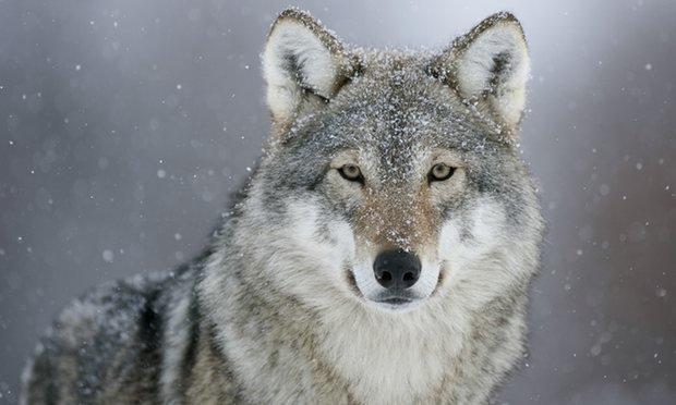Norveç, kurt popülasyonunu yok etmeye hazırlanıyor