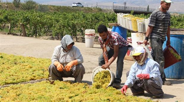 Üzüm ve üzüm üreticileri nasıl bitiriliyor? (2)